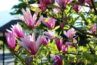 Magnolia printemps 2013